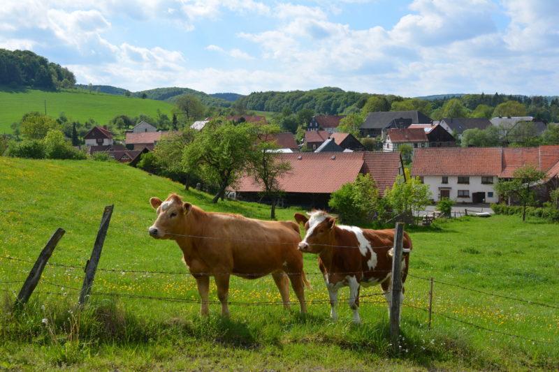 Zwei Kühe auf einer Weide nah Benkhausen